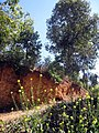 ดอกมัสตาด หรือดอกผักกาด - panoramio.jpg