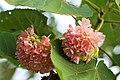 พุดตานสุรินทร์ Dombeya acutangulata Cav (5).jpg