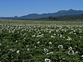 じゃがいも畑と夕張山地(Potato field) - panoramio.jpg