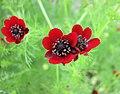 側金盞花屬 Adonis annua -哥本哈根大學植物園 Copenhagen University Botanical Garden- (9244320939).jpg
