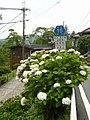 吉野山にて 七曲りのあじさい Hydrangea in Yoshinoyama 2011.7.02 - panoramio (4).jpg