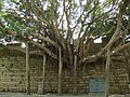 大榕树 - A Huge Banyan Tree - 2010.07 - panoramio.jpg