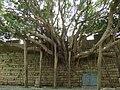 大榕树 - A Huge Banyan Tree - 2010.07 - panoramio.jpg