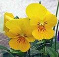 大花三色堇 Viola wittrockiana Princess Yellow -香港北區花鳥蟲魚展 North District Flower Show, Hong Kong- (9213308291).jpg