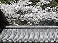 山のサクラ、ジャッコイン, Sakura on the mountain, Jakkoin .jpg