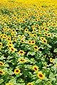 座間のヒマワリ畑, Field of Sunflowers at Zama city - panoramio.jpg