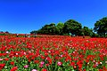 昭和記念公園 - panoramio (7).jpg
