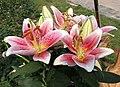 東方百合 Lilium First Romance -廣州冠勝農業公園 Guangzhou, China- (45242531021).jpg