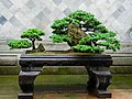 松石盆栽 Bonsai of Pine Trees on rocks - panoramio.jpg