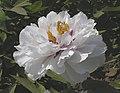 牡丹-月宮燭光 Paeonia papaveracea 'Candle Light in Moon Palace' -菏澤古今園 Heze, China- (12452317163).jpg
