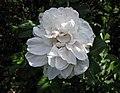玫瑰 Rosa Ritausma -波蘭華沙 Powsin PAN Botanical Garden, Warsaw- (36457161842).jpg