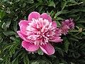 芍藥-粉羽環翠 Paeonia lactiflora -北京植物園 Beijing Botanical Garden, China- (12380296323).jpg