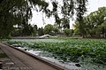 荷塘叶色 pool and lotus - panoramio.jpg