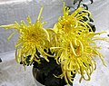 菊花-金管 Chrysanthemum morifolium 'Golden Tubes' -香港圓玄學院 Hong Kong Yuen Yuen Institute- (12085266923).jpg