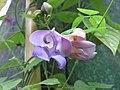 菜豆屬 Phaseolus giganteus -荷蘭園藝展 Venlo Floriade, Holland- (9200881208).jpg