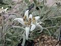 高山火絨草 Leontopodium alpinum -倫敦植物園 Kew Gardens, London- (9237499495).jpg