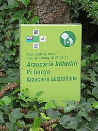 0154-03-11 Pi bunya - Jardins del Teatre Grec 1.jpg