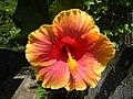 01735jfUnidentified Hibiscus cultivars Philippinesfvf 09.JPG