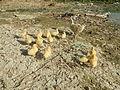 04474jfDomesticated ducks Water Pescadores Poblacion Candaba Pampangafvf 04.JPG