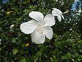 0601jfHibiscus rosa-sinensis White Cultivarsfvf 14.jpg