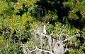 10 Egrets Bennetts Point RD Green Pond SC 6837 (12397465503).jpg