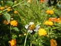 1567Garden City Flowers Guiguinto, Bulacan 01.jpg