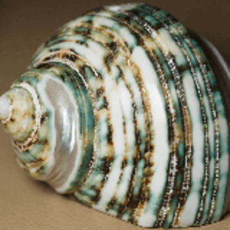 Spatial frequency - Green Sea Shell image