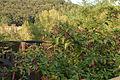 16 Passarel·la sobre el Fluvià i vegetació (Castellfollit de la Roca).jpg