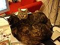 2005-06-18 Tabby cats (8652490599).jpg
