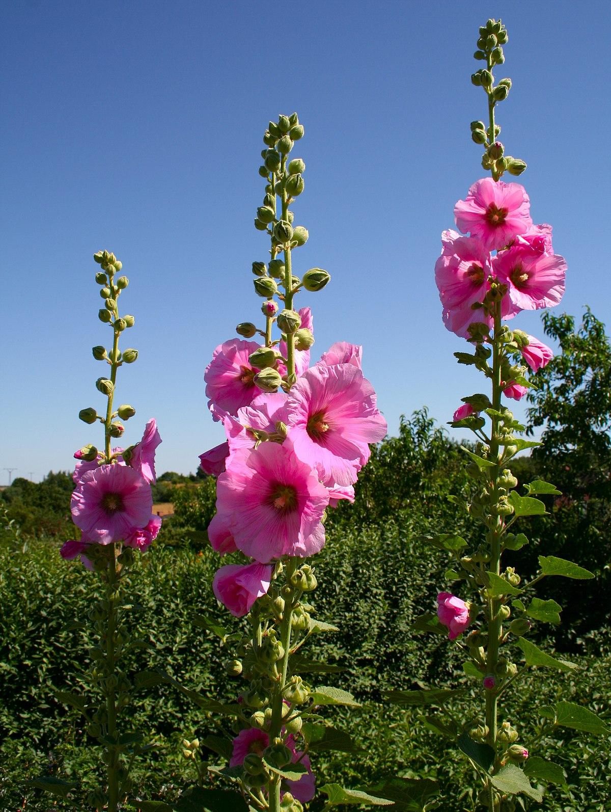 Многолетние цветы мальва фото