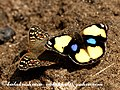 2008 11 21 chinnar lemon pansy yellow pansy (3048941837).jpg