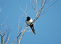 2010-06-03 (25) Elster, Magpie, Pica pica.JPG