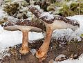 2012-01-29 Polyporus brumalis crop.jpg