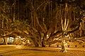 2012-02-10 02-19 Maui, Hawaii 020 Lahaina, Banyan Tree (6783774056).jpg