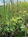 20120813Heracleum sphondylium3.jpg