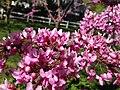 2013-05-04 15 03 15 Cercis canadensis blossums in Ewing, NJ.jpg