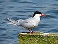 2014-05-18 Sterna hirundo, Killingworth Lake, Northumberland 02.jpg