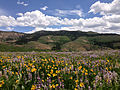 2014-06-24 12 17 55 Wildflowers east of Elko County Route 748 (Charleston-Jarbidge Road) along the border of the Mountain City and Jarbidge ranger districts in Copper Basin, Nevada.JPG