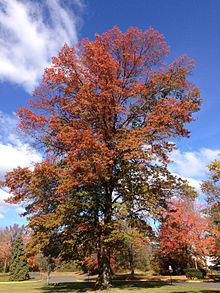 Pin Oak Displaying Typical Bronze Fall Coloration