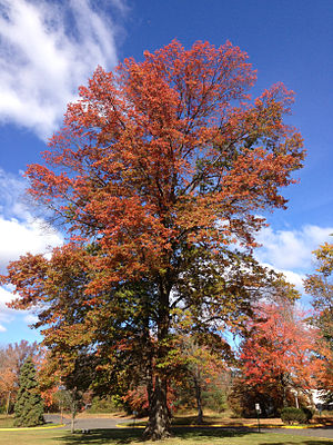 Quercus palustris - Mature pin oak displaying typical bronze fall coloration