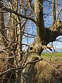 20140228Carpinus betulus1.jpg