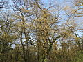 20140325Carpinus betulus3.jpg