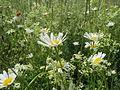 20140523Leucanthemum vulgare1.jpg