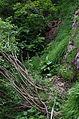 2014 07 Selva di Progno (VR) Italy - Giazza - Val Fraselle - forest - Ctg Baldo Lessinia org photo Paolo Villa FOTO6810.JPG