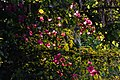 2015-03-16 Bougainvillaea in Lumbini(Sri Lanka temple)ルンビニ・スリランカ寺 DSCF1316.jpg