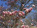 2015-04-13 09 54 47 Saucer Magnolia blossoms on Pennroad Avenue in Ewing, New Jersey.jpg