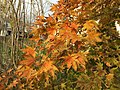 2015-11-17 15 19 40 Yellow-orange autumn foliage on a Japanese Maple along Tranquility Court in the Franklin Farm section of Oak Hill, Fairfax County, Virginia.jpg