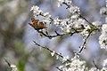 20150419 067 Kessel Weerdbeemden Vlinder (17201845355).jpg