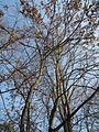 20170123Ailanthus altissima4.jpg