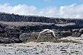 20180807-Flying Nazca booby at Genovesa (9488).jpg